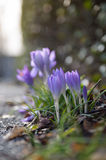 Pavement Crocus. Springtime, the early Crocus flowers show their beauty beside the road Royalty Free Stock Photo