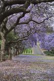 PAVEMENT STREWN WITH JACARANDA FLOWERS IN SPRING. Pavement in Pretoria, South Africa, lined with Jacaranda trees in full bloom in Spring Stock Photography