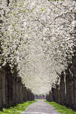 Pavement Under Blossom Royalty Free Stock Photography