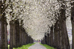 Pavement Under Blossom Royalty Free Stock Images