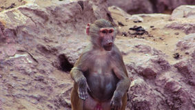 Pavian-Affe, der im Zoo kühlt Stockfoto