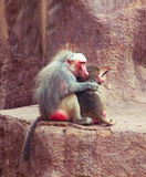 Pavian-Affe, der im Zoo kühlt Stockfotografie