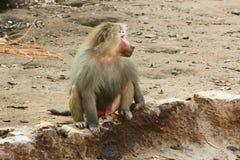 Pavian-Affe, der im Zoo kühlt Lizenzfreies Stockbild