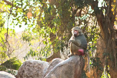 Pavian-Affe, der im Zoo kühlt Lizenzfreie Stockfotografie