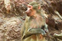 Pavian-Affe, der im Zoo kühlt Lizenzfreie Stockfotos