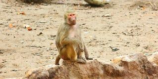 Pavian-Affe, der im Zoo kühlt Lizenzfreie Stockbilder