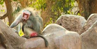 Pavian-Affe, der im Zoo kühlt Stockbilder