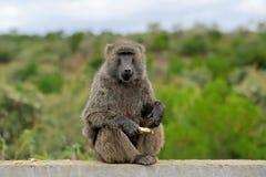 Pavian auf Stein im Nationalpark von Kenia Lizenzfreies Stockfoto