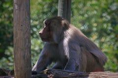 Pavian, das im Zoo sitzt und schaut Lizenzfreies Stockfoto