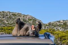 Pavian, der auf Autodach liegt Stockfoto