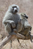 Pavian, der auf Baum sitzt Stockfotografie