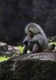 Pavian, der auf einem Felsen sitzt stockfotos