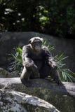 Pavian, der auf einem Felsen am Zoo sitzt Lizenzfreie Stockfotografie