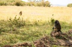 Pavian, der auf einem Stein in der Savanne des Masais Mara sitzt Stockbilder