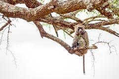 Pavian, der auf einem Stein in der Savanne des Masais Mara sitzt Stockfotos