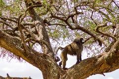 Pavian, der auf einem Stein in der Savanne des Masais Mara sitzt Lizenzfreies Stockbild