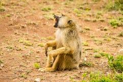 Pavian, der aus den Grund mit offenem Mund in der Savanne herein sitzt Stockfotos