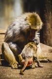 Pavian, der eine Familiengruppe und -affen isst Stockfotografie
