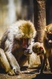 Pavian, der eine Familiengruppe und -affen isst Stockbilder