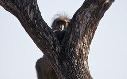 Pavian, der in einem Baum sitzt Stockfotografie