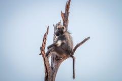 Pavian, der in einem toten Baum sitzt Stockfotografie