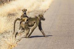 Pavian, der ihr Baby auf ihrer Überfahrt die Straße in Kruger Na trägt Lizenzfreie Stockfotografie