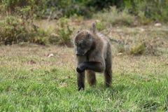Pavian, der im Naturreservat De Hoop isst Stockbild