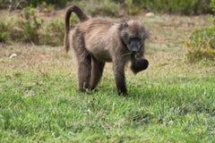 Pavian, der im Naturreservat De Hoop isst Stockfotografie