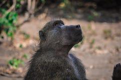 Pavian, der oben im Baum anderem Pavianspielen betrachtet Stockbild
