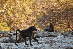 Pavian in der Savanne in Namibia Lizenzfreie Stockfotografie