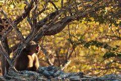 Pavian in der Savanne in Namibia Stockfoto