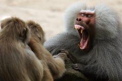 Pavian, der seine Zähne zeigt Lizenzfreie Stockbilder