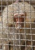 Pavian, der streng die Kamera auf den Zoo betrachtet Stockfotografie