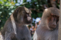 Pavian die (baviaan) coople aan wat interessant voorwerp kijken royalty-vrije stock fotografie