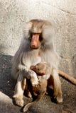 Pavian-Fallhammer, der sein Schätzchen verteidigt Lizenzfreies Stockbild