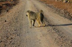 Pavian geht auf Straße, Affe in Afrika-wild lebenden Tieren Lizenzfreie Stockfotos
