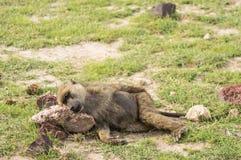Pavian legen auf den Grundkopf auf einem Stein im Savannenland Lizenzfreies Stockfoto
