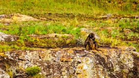 Pavian in Lissabon fällt nahe Gott ` s Fenster auf dem Panorama-Weg in Mpumalanga-Provinz Stockbild