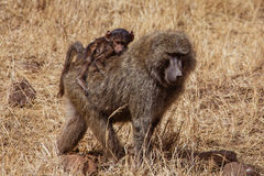Pavian mit einem Baby lizenzfreie stockbilder