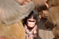 Pavian mit neugeborenen Jungen Stockbilder