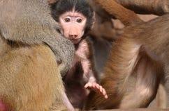 Pavian mit neugeborenen Jungen Lizenzfreies Stockfoto