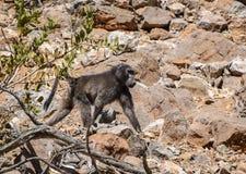 Pavian in Namibia Lizenzfreies Stockfoto