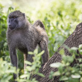 Pavian - Nationalpark Tarangire - Reserve der wild lebenden Tiere in Tansania, Lizenzfreie Stockbilder