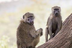 Pavian - Nationalpark Tarangire - Reserve der wild lebenden Tiere in Tansania, Stockfotografie