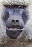 Pavian - Nationalpark Tarangire - Reserve der wild lebenden Tiere in Tansania, Stockbilder