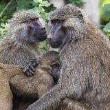 Pavian - Nationalpark Tarangire - Reserve der wild lebenden Tiere in Tansania, Stockfotos