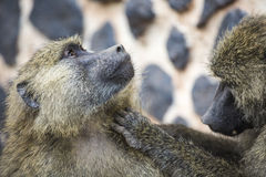 Pavian - Nationalpark Tarangire - Reserve der wild lebenden Tiere in Tansania, Lizenzfreie Stockfotografie