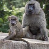 Pavian - Nationalpark Tarangire - Reserve der wild lebenden Tiere in Tansania, Lizenzfreies Stockfoto