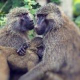 Pavian - Nationalpark Tarangire - Reserve der wild lebenden Tiere in Tansania, Stockfoto