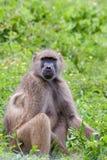 Pavian (P Anubis), das im Gras sitzt Stockbild